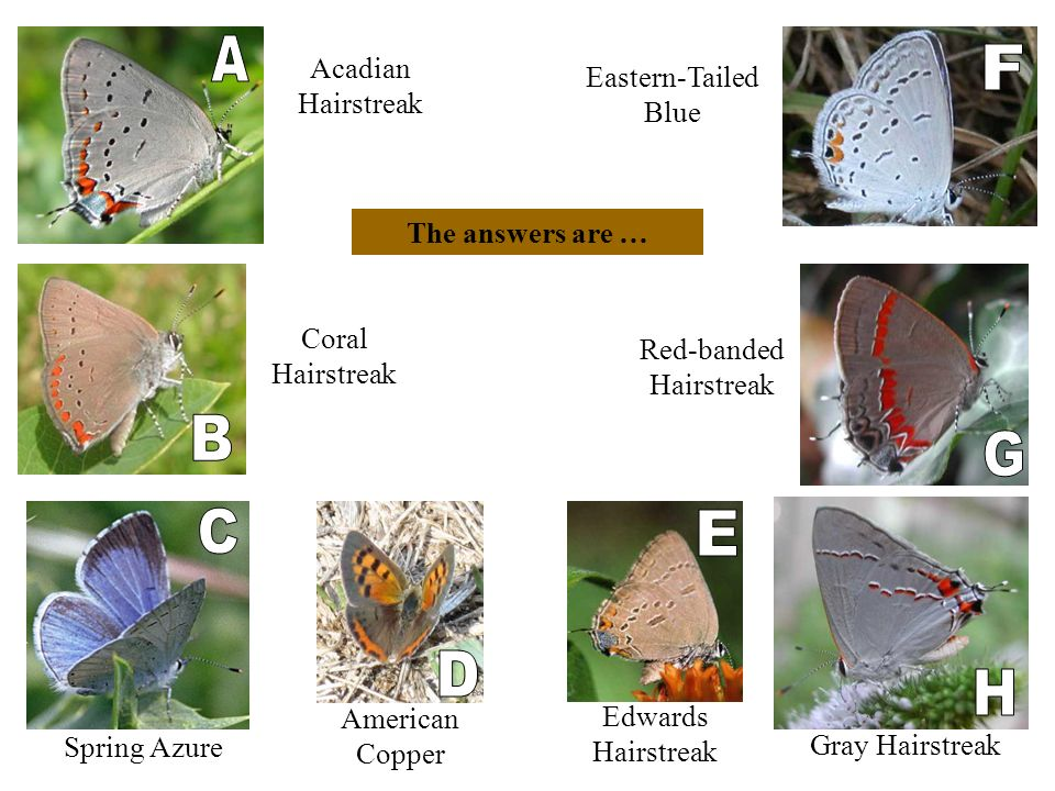 Red-banded Hairstreak Acadian Hairstreak Gray Hairstreak Coral Hairstreak Edwards Hairstreak Spring Azure American Copper Eastern-Tailed Blue The answers are …