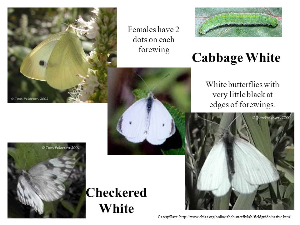Cabbage White White butterflies with very little black at edges of forewings.