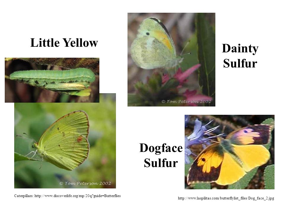 Dainty Sulfur Dogface Sulfur http://www.laspilitas.com/butterflylist_files/Dog_face_2.jpg Little Yellow Caterpillars: http://www.discoverlife.org/mp/20q guide=Butterflies