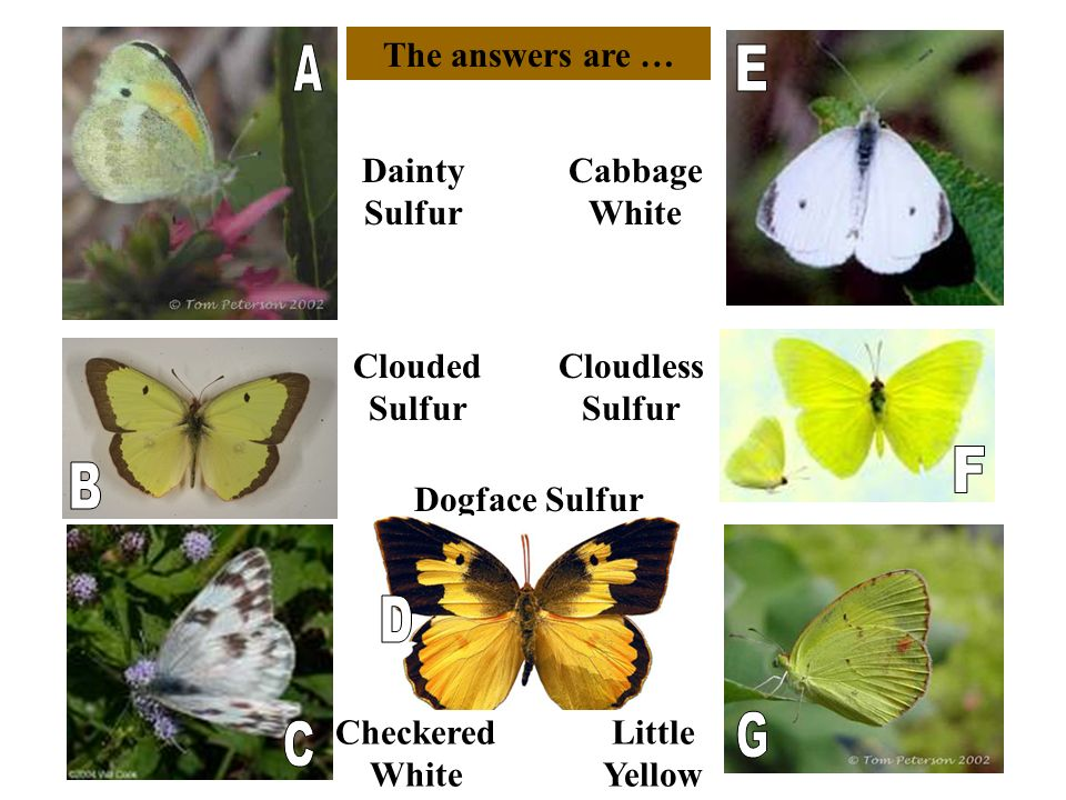The answers are … Dogface Sulfur Dainty Sulfur Little Yellow Cabbage White Checkered White Clouded Sulfur Cloudless Sulfur