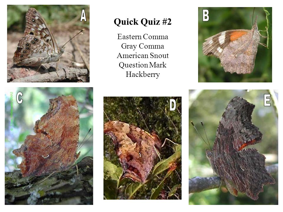 Quick Quiz #2 Eastern Comma Gray Comma American Snout Question Mark Hackberry