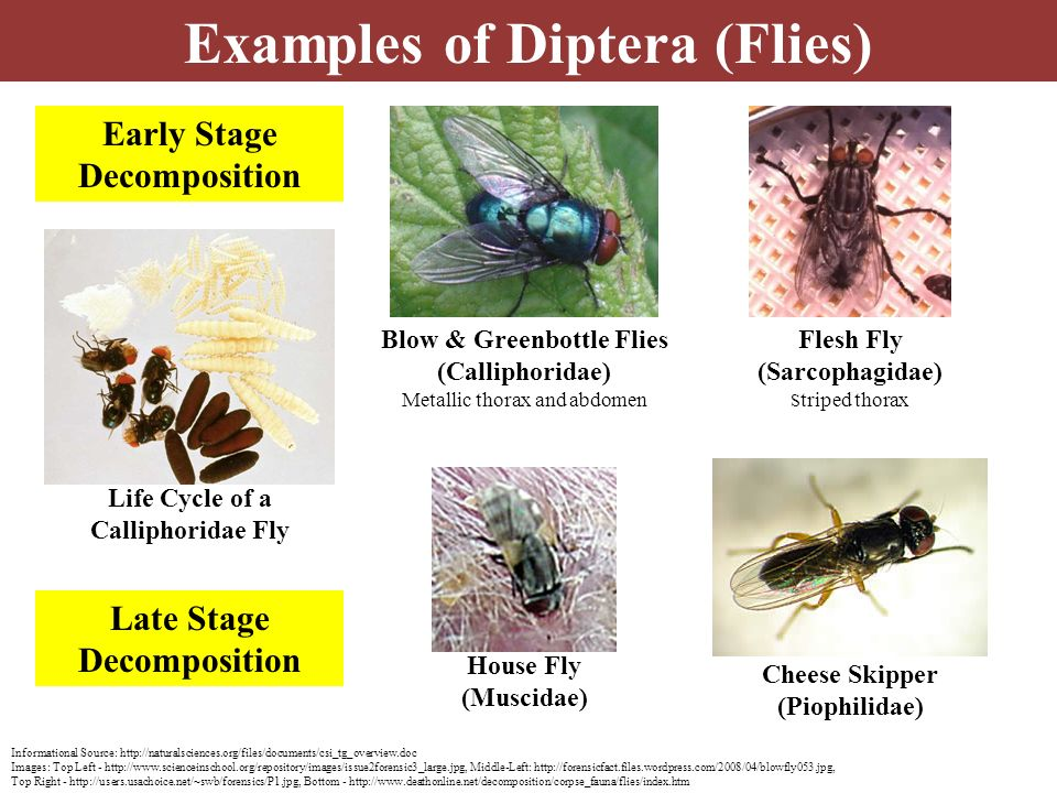 Examples of Diptera (Flies) Informational Source: http://naturalsciences.org/files/documents/csi_tg_overview.doc Images: Top Left - http://www.science