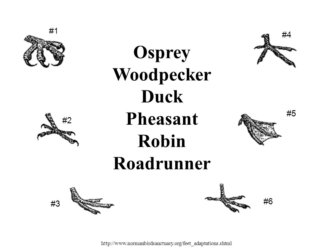 Osprey Woodpecker Duck Pheasant Robin Roadrunner #1 #5 #2 #3 #6 #4 http://www.normanbirdsanctuary.org/feet_adaptations.shtml