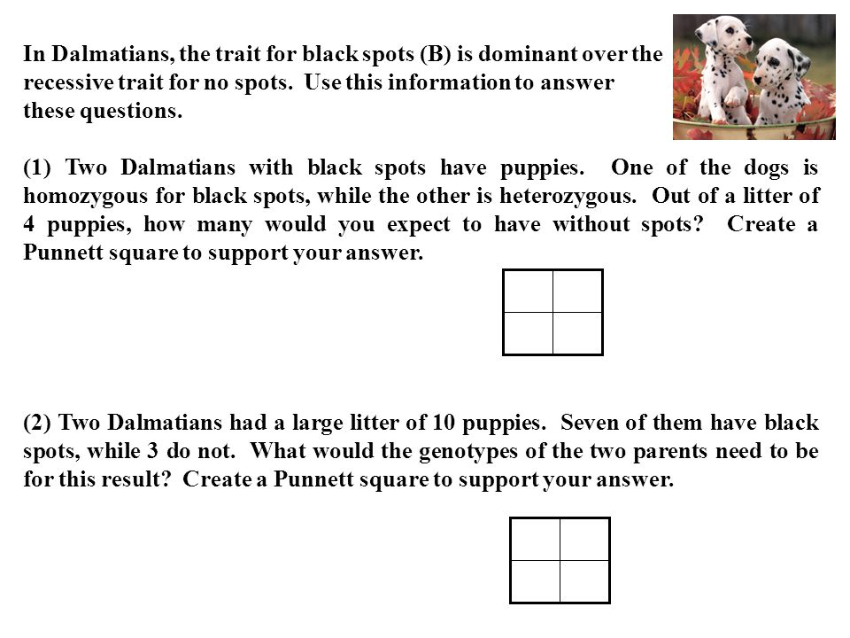 In Dalmatians, the trait for black spots (B) is dominant over the recessive trait for no spots. Use this information to answer these questions. (1) Tw