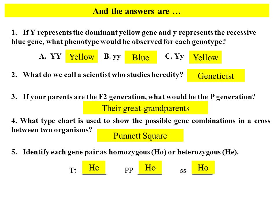 And the answers are … 1. If Y represents the dominant yellow gene and y represents the recessive blue gene, what phenotype would be observed for each
