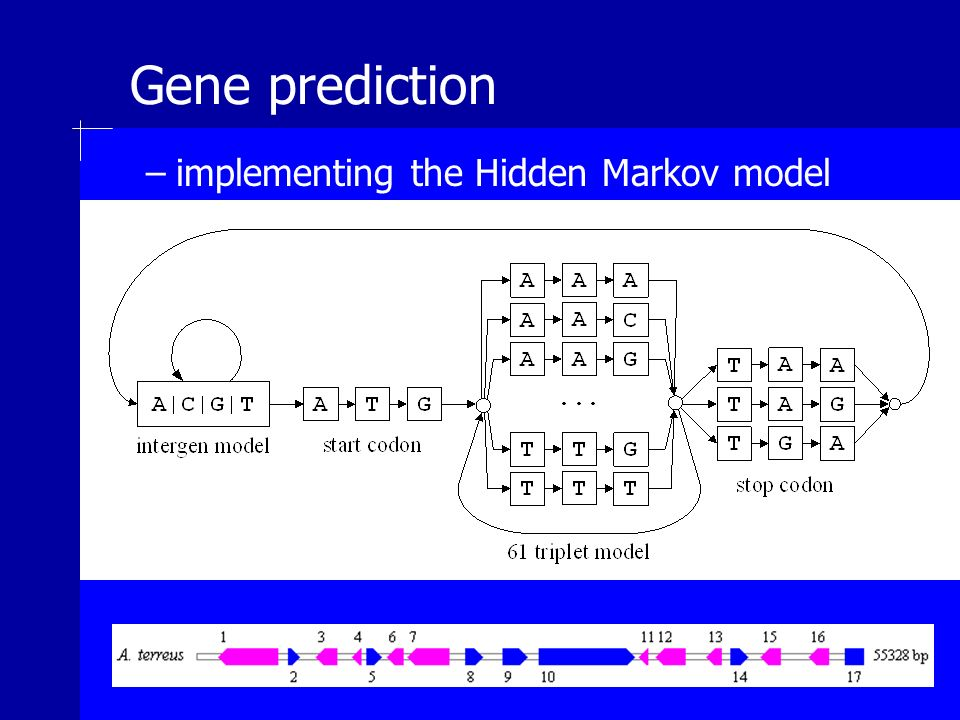 Gene prediction –implementing the Hidden Markov model