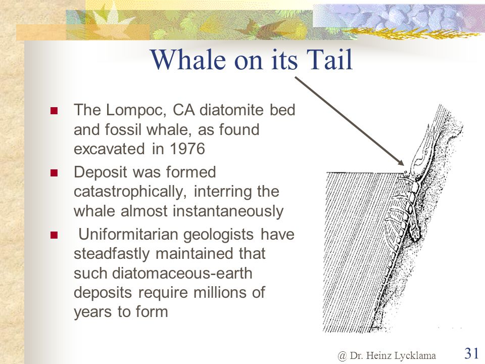 @ Dr. Heinz Lycklama 31 Whale on its Tail The Lompoc, CA diatomite bed and fossil whale, as found excavated in 1976 Deposit was formed catastrophicall