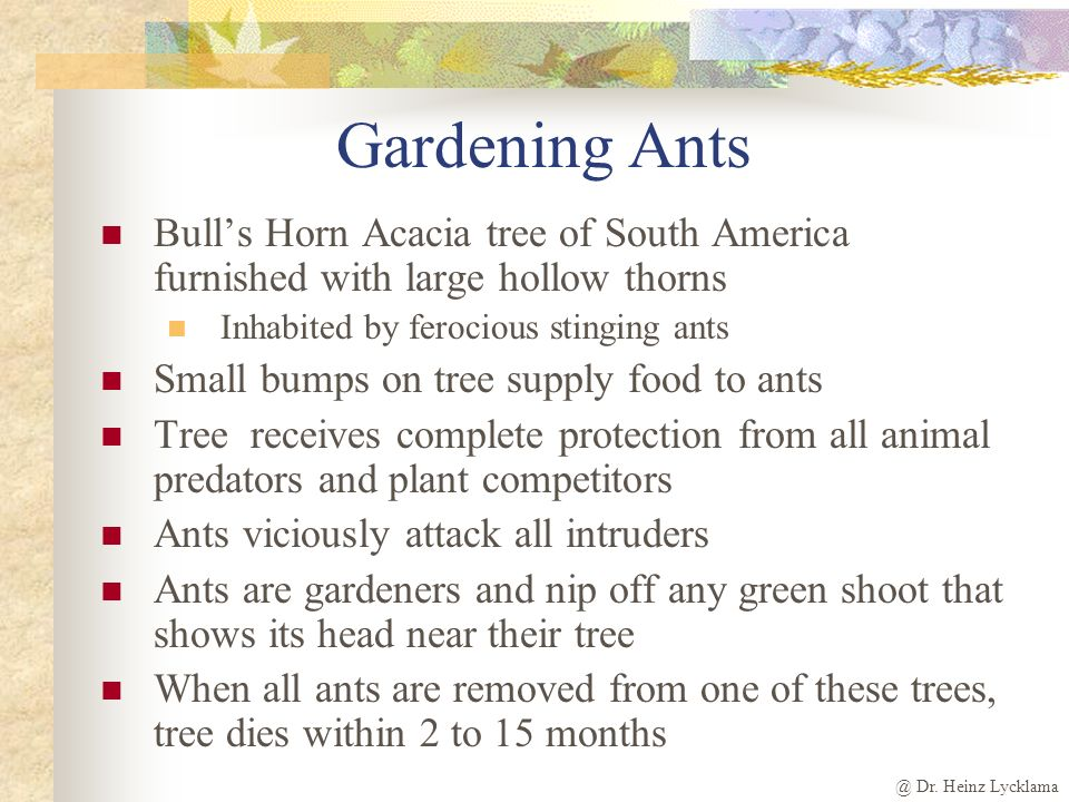 @ Dr. Heinz Lycklama Gardening Ants Bulls Horn Acacia tree of South America furnished with large hollow thorns Inhabited by ferocious stinging ants Sm