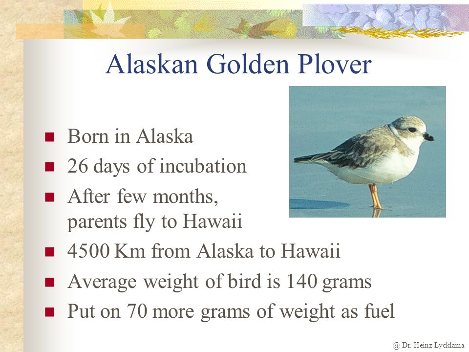 @ Dr. Heinz Lycklama Alaskan Golden Plover Born in Alaska 26 days of incubation After few months, parents fly to Hawaii 4500 Km from Alaska to Hawaii