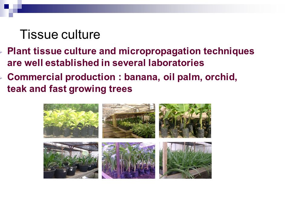 Tissue culture Plant tissue culture and micropropagation techniques are well established in several laboratories Commercial production : banana, oil p