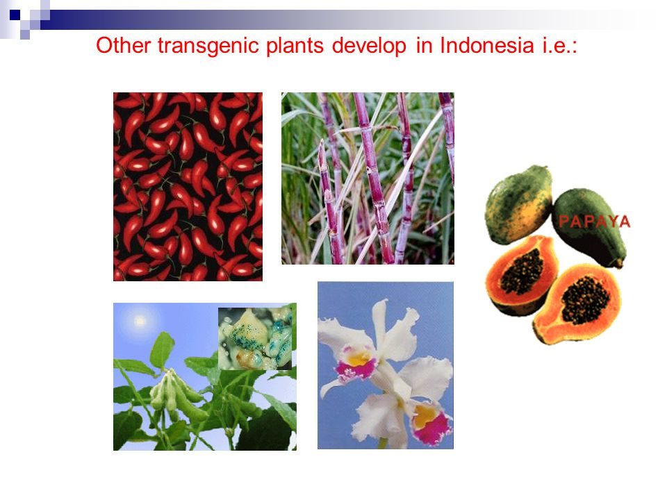 Other transgenic plants develop in Indonesia i.e.: