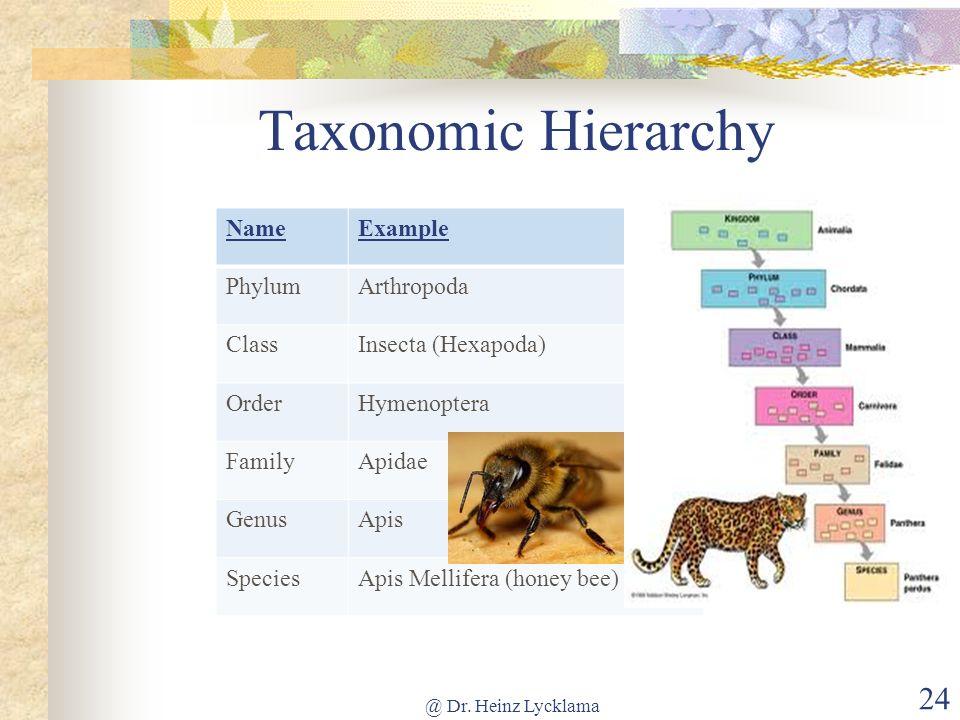 Taxonomic Hierarchy NameExample PhylumArthropoda ClassInsecta (Hexapoda) OrderHymenoptera FamilyApidae GenusApis SpeciesApis Mellifera (honey bee) @ D