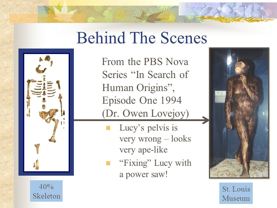 From the PBS Nova Series In Search of Human Origins, Episode One 1994 (Dr. Owen Lovejoy) Lucys pelvis is very wrong – looks very ape-like Fixing Lucy
