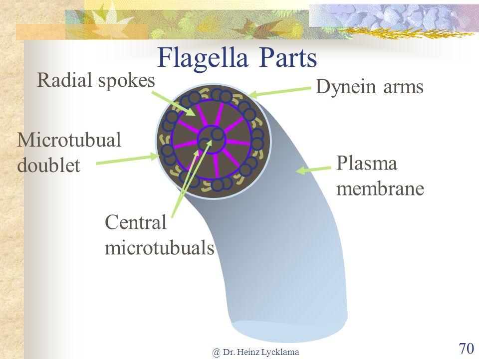 @ Dr. Heinz Lycklama 70 Flagella Parts Central microtubuals Microtubual doublet Plasma membrane Dynein arms Radial spokes