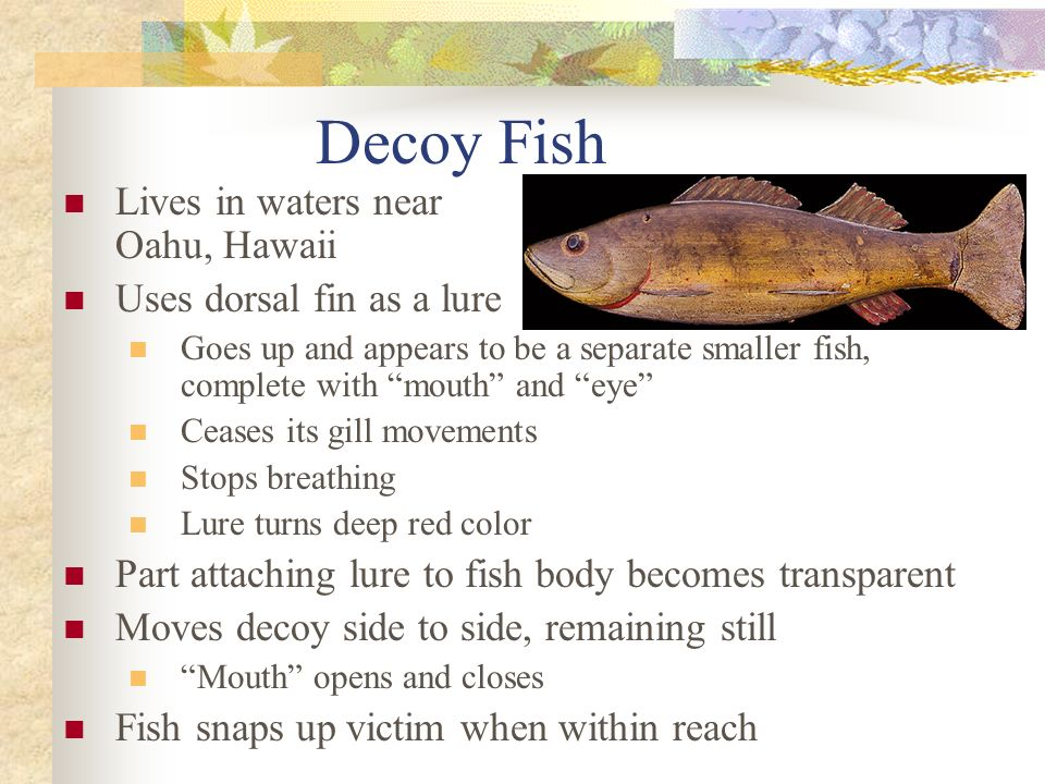 Decoy Fish Lives in waters near Oahu, Hawaii Uses dorsal fin as a lure Goes up and appears to be a separate smaller fish, complete with mouth and eye Ceases its gill movements Stops breathing Lure turns deep red color Part attaching lure to fish body becomes transparent Moves decoy side to side, remaining still Mouth opens and closes Fish snaps up victim when within reach