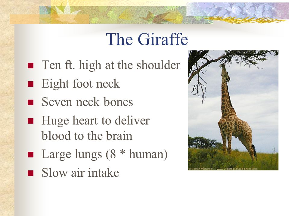 The Giraffe Ten ft.