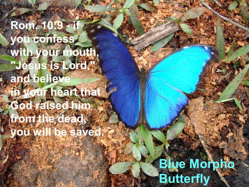 Blue Morpho Butterfly Rom.