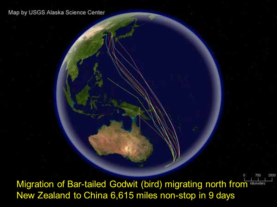 Migration of Bar-tailed Godwit (bird) migrating north from New Zealand to China 6,615 miles non-stop in 9 days