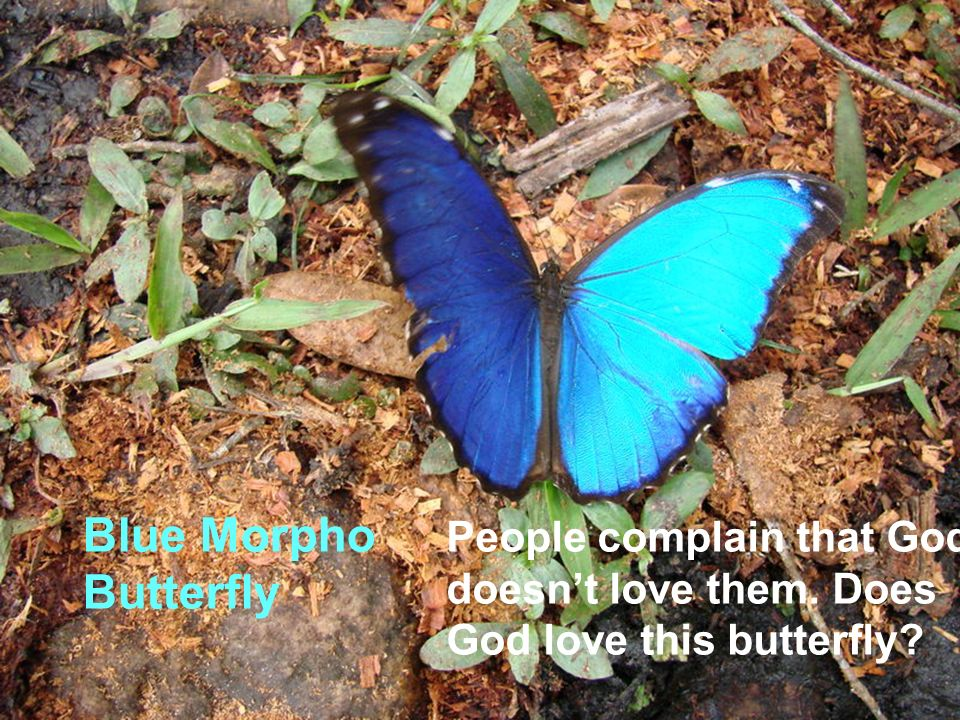 Blue Morpho Butterfly People complain that God doesnt love them. Does God love this butterfly