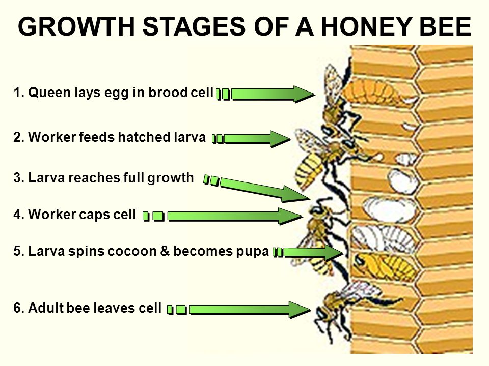 GROWTH STAGES OF A HONEY BEE 2. Worker feeds hatched larva 3.