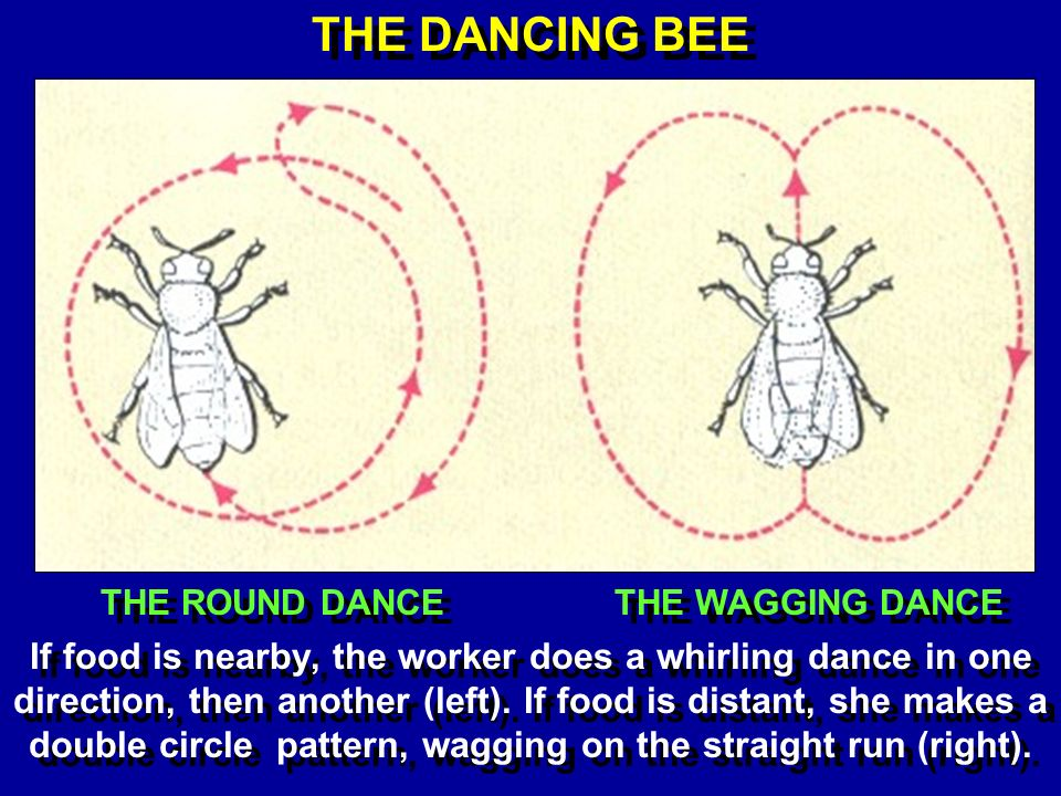 THE DANCING BEE THE ROUND DANCE THE WAGGING DANCE If food is nearby, the worker does a whirling dance in one direction, then another (left).
