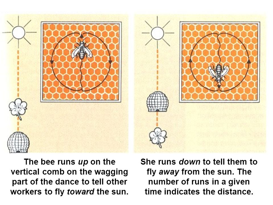 The bee runs up on the vertical comb on the wagging part of the dance to tell other workers to fly toward the sun.