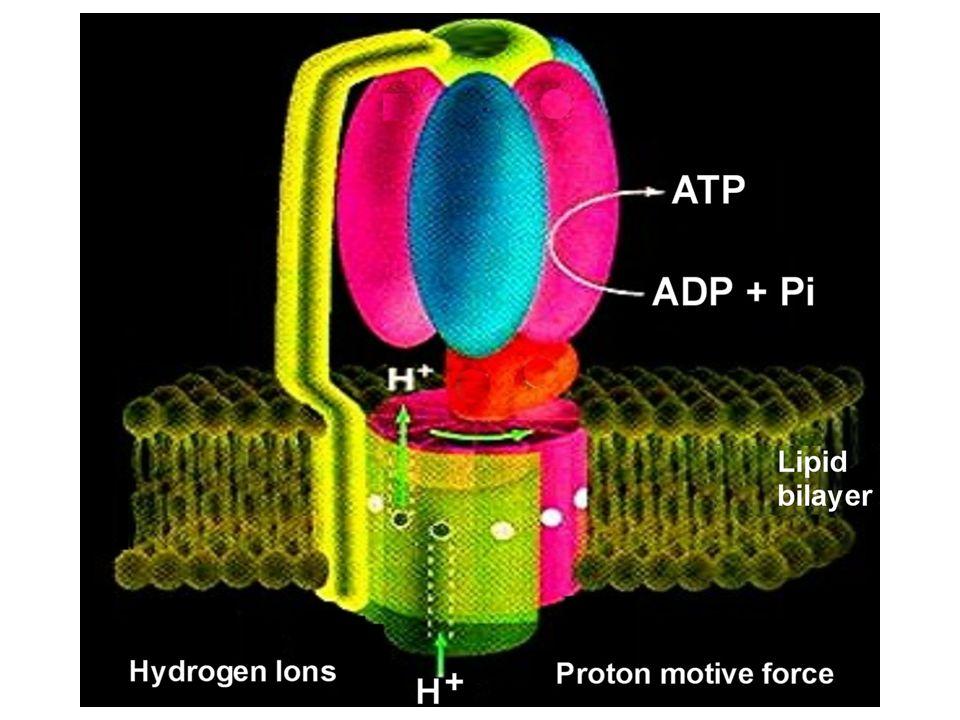 ADP + P I ATP