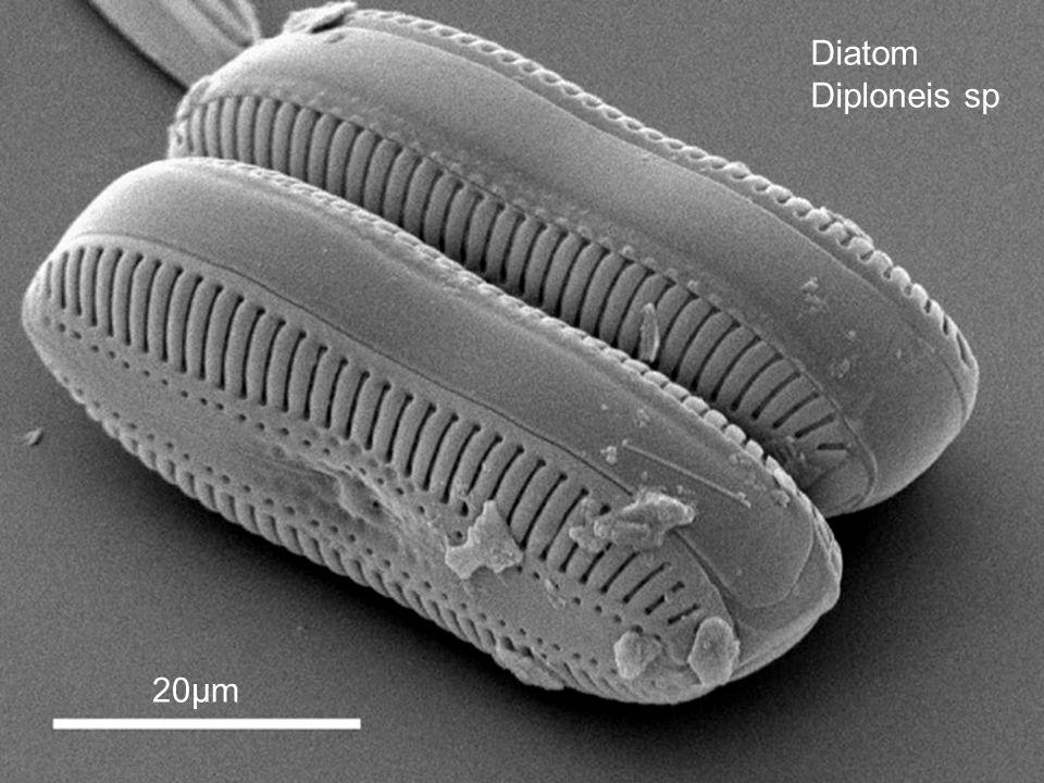 Diatom Diploneis sp 20µm