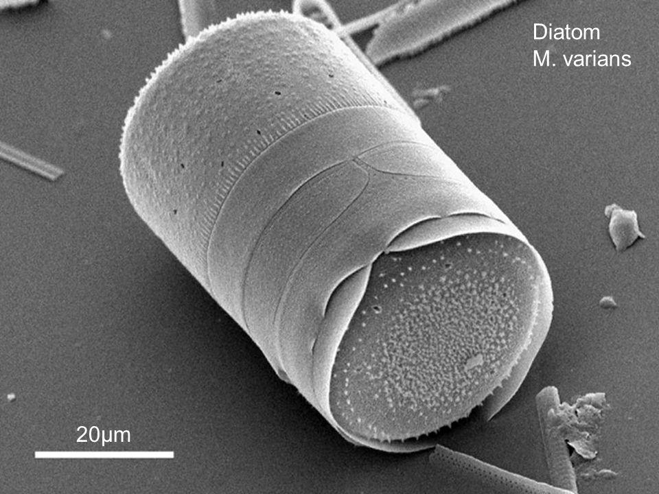 Diatom M. varians 20µm