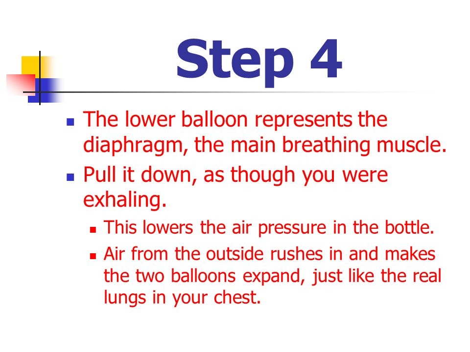 Step 4 The lower balloon represents the diaphragm, the main breathing muscle. Pull it down, as though you were exhaling. This lowers the air pressure