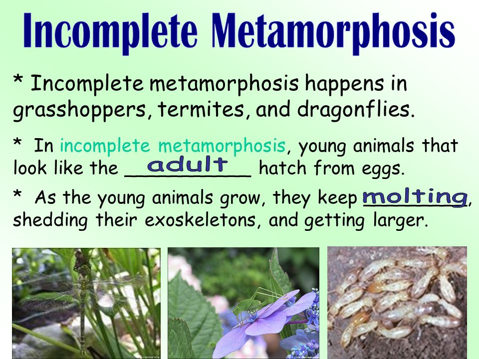 * Incomplete metamorphosis happens in grasshoppers, termites, and dragonflies.