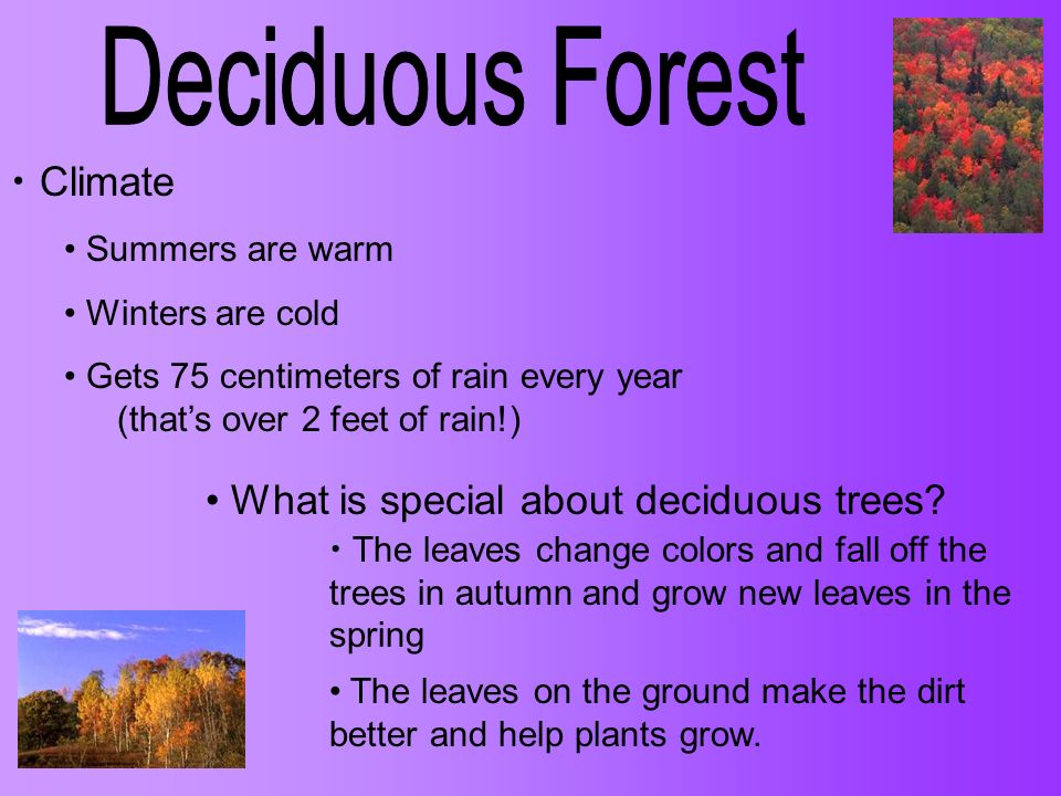 Climate Summers are warm Winters are cold Gets 75 centimeters of rain every year (thats over 2 feet of rain!) What is special about deciduous trees? T