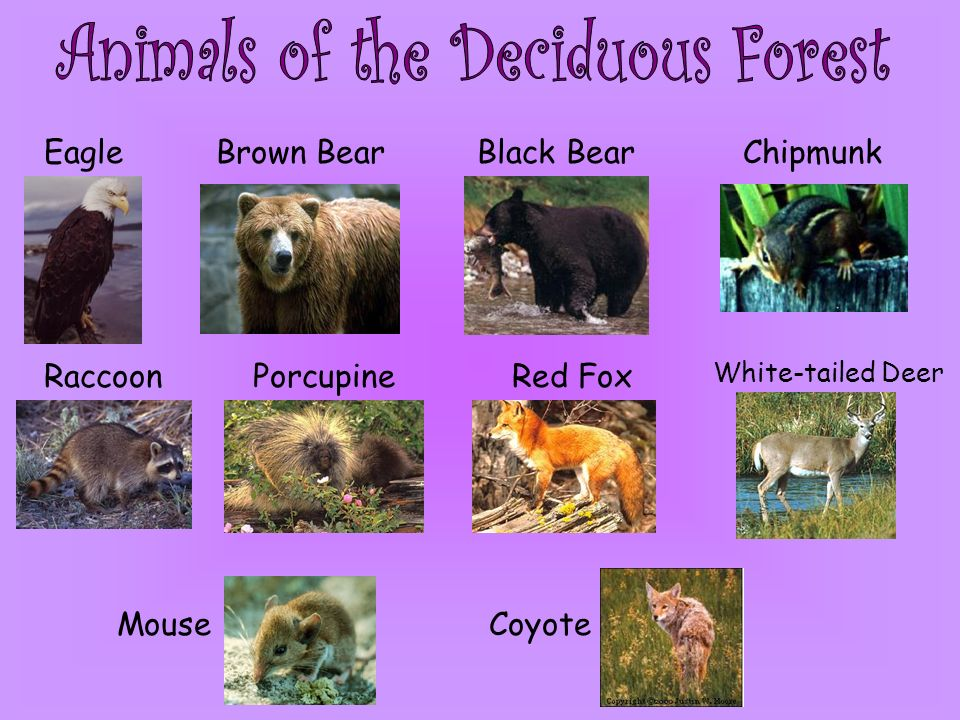 EagleBrown BearBlack BearChipmunk RaccoonPorcupineRed Fox White-tailed Deer MouseCoyote