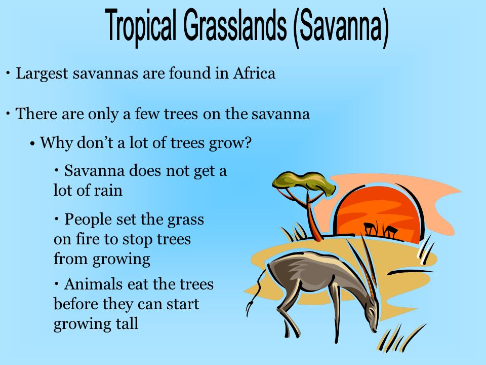 Largest savannas are found in Africa There are only a few trees on the savanna Why dont a lot of trees grow? Savanna does not get a lot of rain People