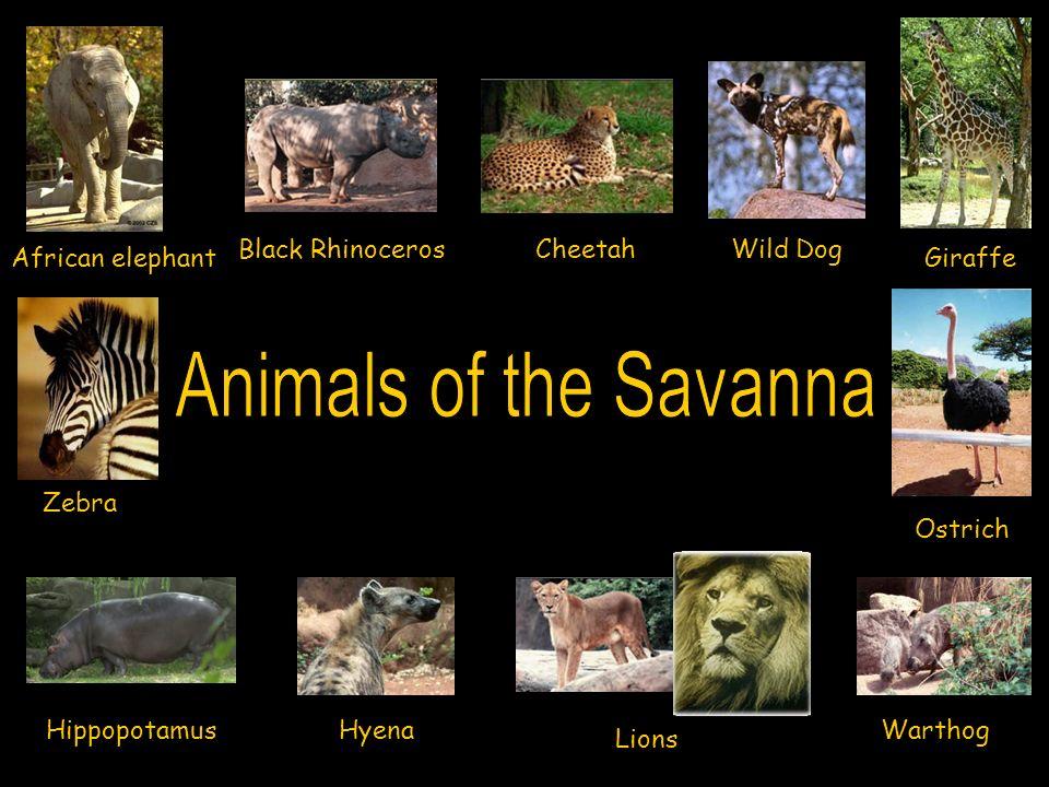 African elephant Black RhinocerosCheetah Giraffe HippopotamusHyena Lions Ostrich Warthog Wild Dog Zebra