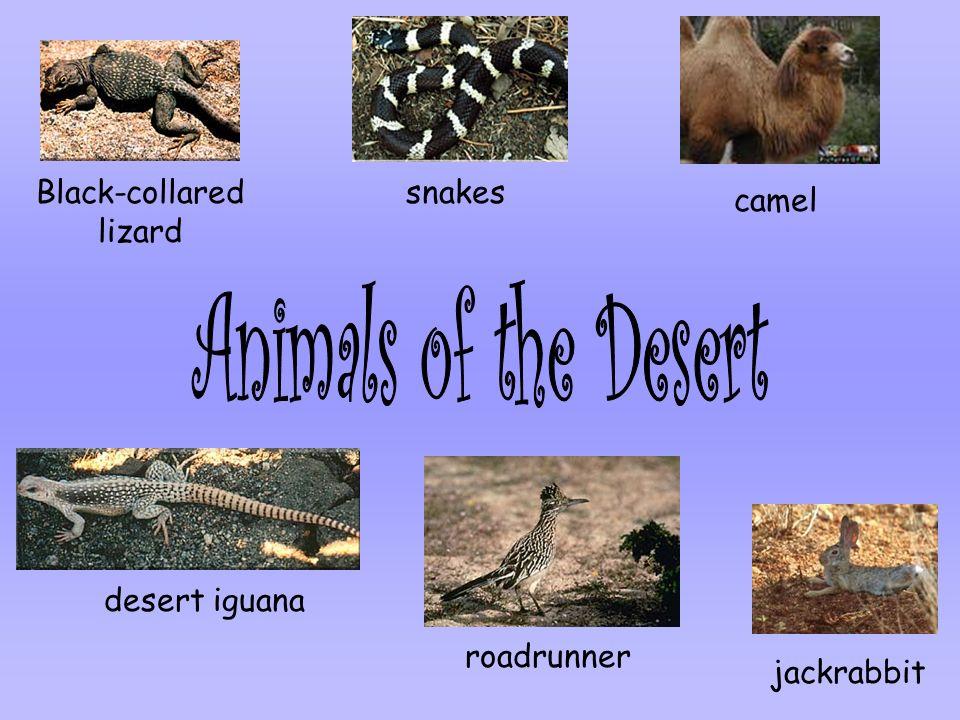 Black-collared lizard snakes camel desert iguana roadrunner jackrabbit
