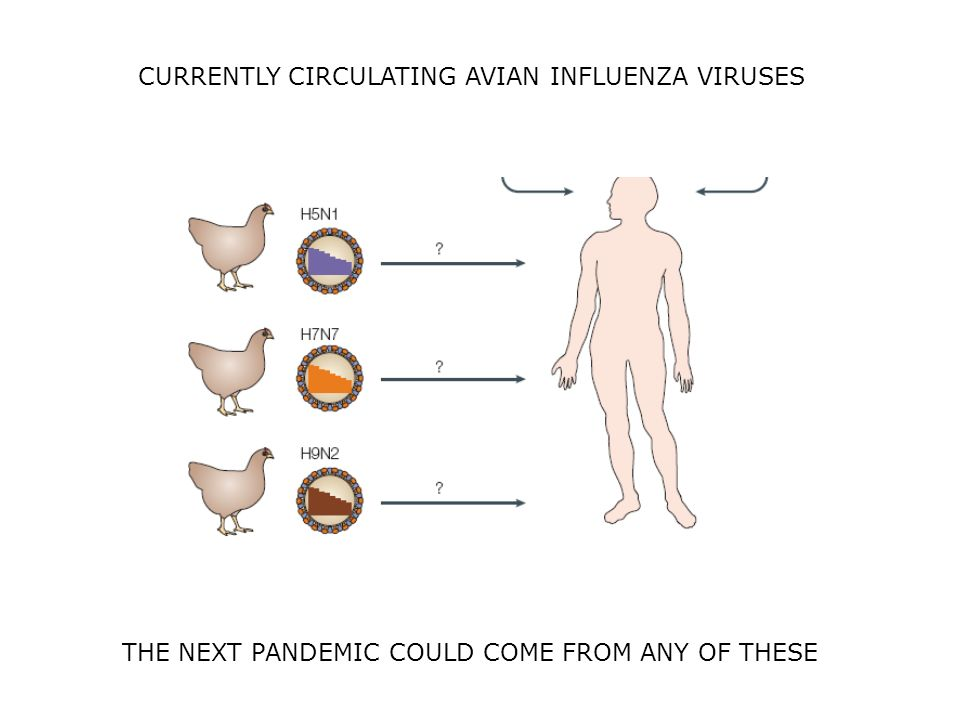 CURRENTLY CIRCULATING AVIAN INFLUENZA VIRUSES THE NEXT PANDEMIC COULD COME FROM ANY OF THESE