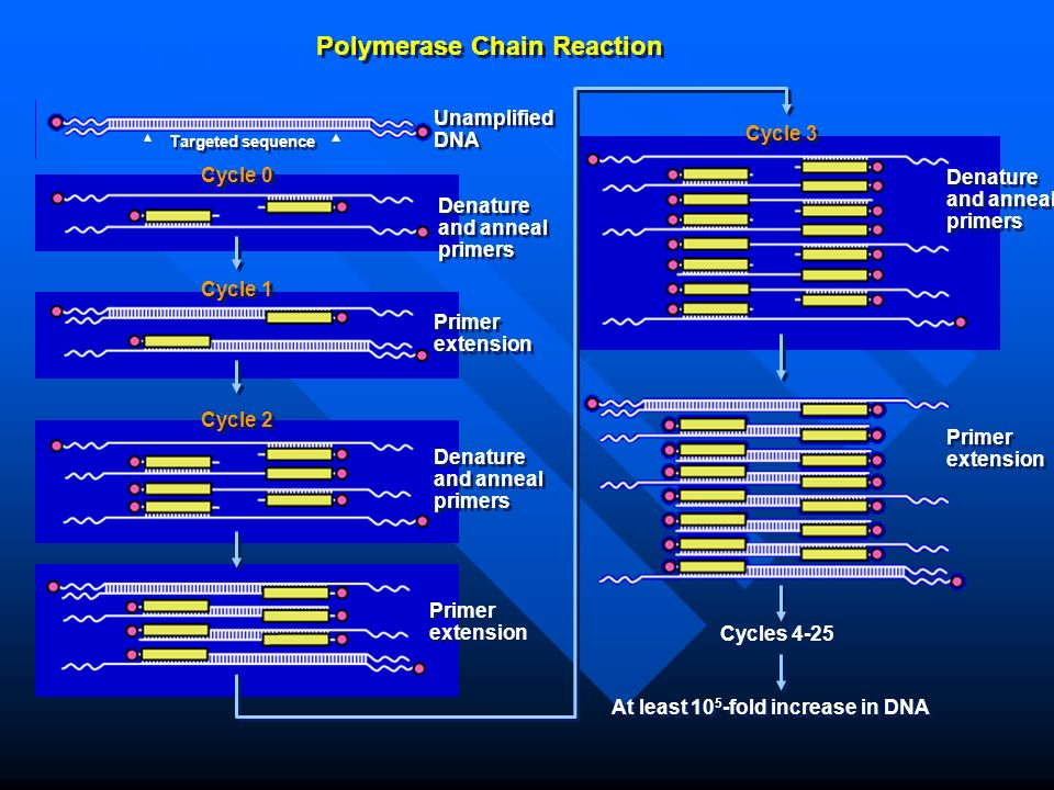 Polymerase Chain Reaction Unamplified DNA Denature and anneal primers Primer extension Denature and anneal primers Cycle 0 Cycle 1 Targeted sequence Cycle 2 Cycle 3 Denature and anneal primers Primer extension Cycles 4-25 At least 10 5 -fold increase in DNA