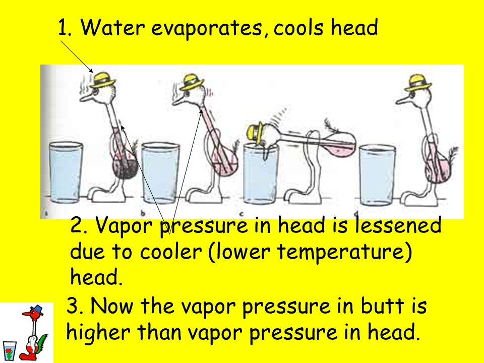 1. Water evaporates, cools head 2. Vapor pressure in head is lessened due to cooler (lower temperature) head. 3. Now the vapor pressure in butt is hig
