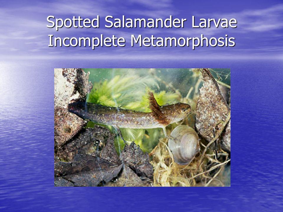 Spotted Salamander Larvae Incomplete Metamorphosis