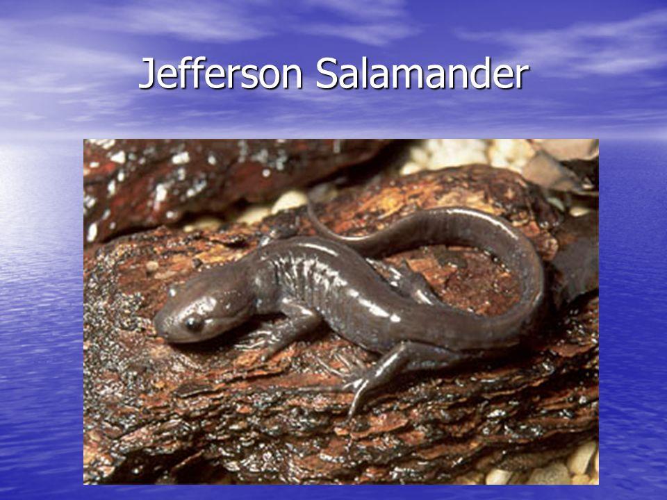 Jefferson Salamander