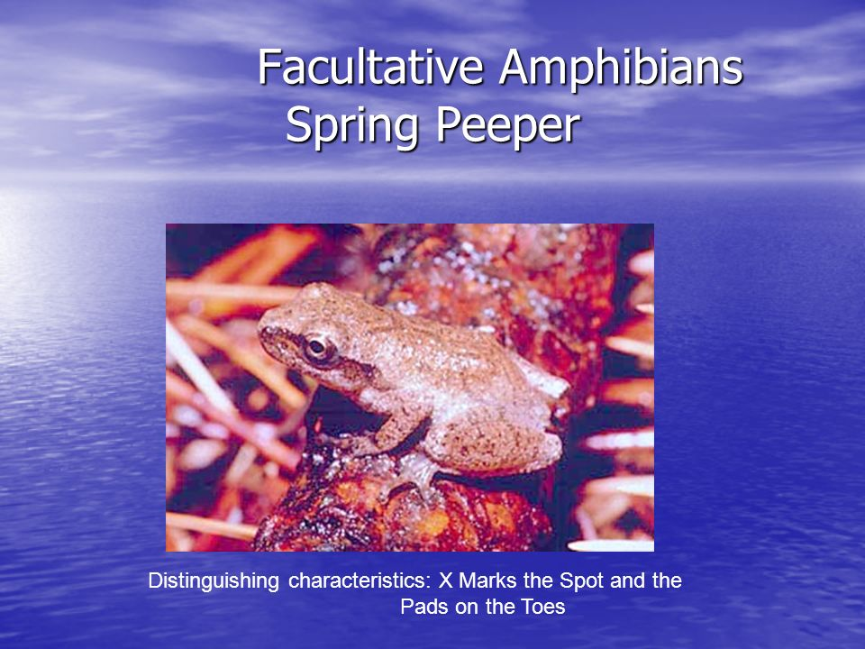 Facultative Amphibians Spring Peeper Facultative Amphibians Spring Peeper Distinguishing characteristics: X Marks the Spot and the Pads on the Toes