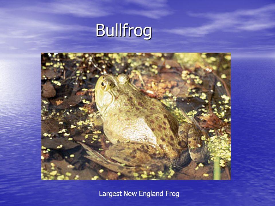 Bullfrog Bullfrog Largest New England Frog