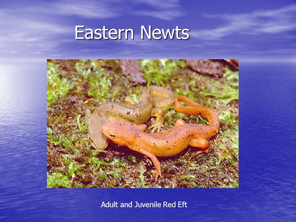 Eastern Newts Eastern Newts Adult and Juvenile Red Eft