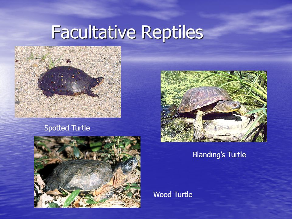 Facultative Reptiles Facultative Reptiles Spotted Turtle Blandings Turtle Wood Turtle