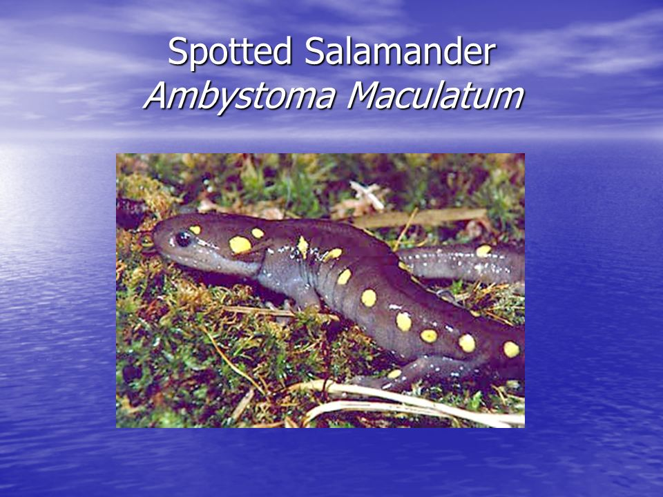 Spotted Salamander Ambystoma Maculatum