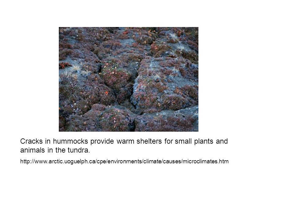 Cracks in hummocks provide warm shelters for small plants and animals in the tundra. http://www.arctic.uoguelph.ca/cpe/environments/climate/causes/mic