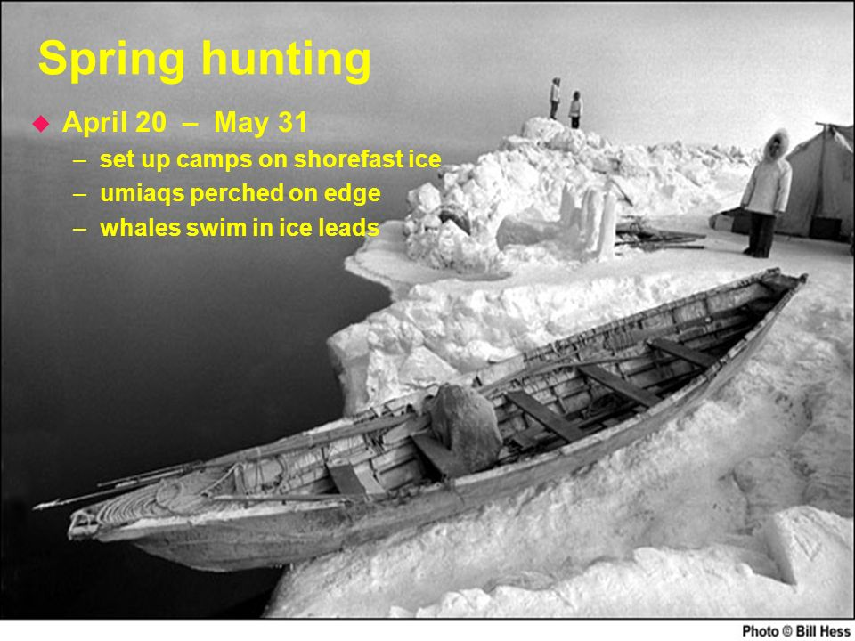 Spring hunting u April 20 – May 31 –set up camps on shorefast ice –umiaqs perched on edge –whales swim in ice leads