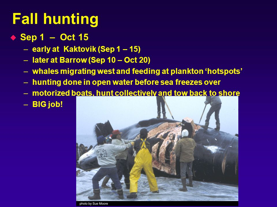 Fall hunting u Sep 1 – Oct 15 –early at Kaktovik (Sep 1 – 15) –later at Barrow (Sep 10 – Oct 20) –whales migrating west and feeding at plankton hotspots –hunting done in open water before sea freezes over –motorized boats, hunt collectively and tow back to shore –BIG job!