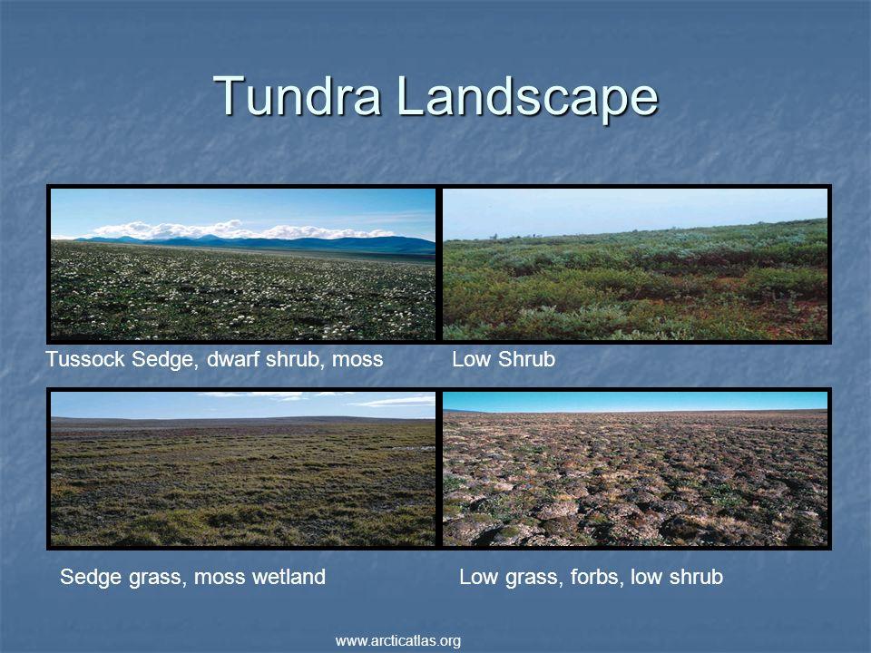 Tundra Landscape Tussock Sedge, dwarf shrub, mossLow Shrub Sedge grass, moss wetlandLow grass, forbs, low shrub www.arcticatlas.org